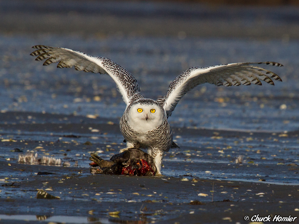 A snowy owl is between 20 and 28 inches in length, the duck it preyed upon, is probably about 24 inches.